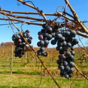 wine trail Shelton